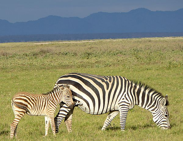 Zebra and calf