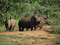 Three White Rhino