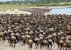 Wildebeest Migration Safari, Kilimanjaro hike and Zanzibar beach  Holiday